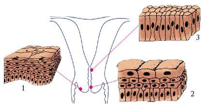 Ectocervix, zona de transformare si endocervix