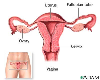 Organe genitale interne la femei