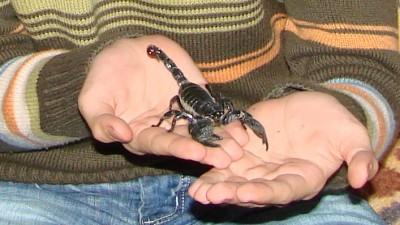 scorpion - Pandinus imperator