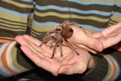 tarantula - Grammostola rosea