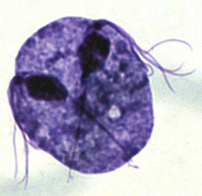 Днк chlamydia trachomatis что это