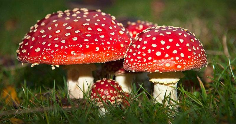 ciuperci-otravitoare
