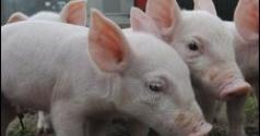 Friptura De Porc Din Celule Stem