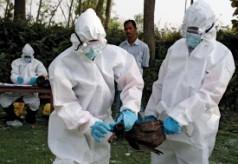 Gripa Aviara si Gripa Porcina