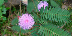 Noua Achizitie, O Mimosa Pudica