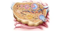 Rezerva Ovariana Scazuta: Ce Inseamna, Consecinte, Teste si Analize