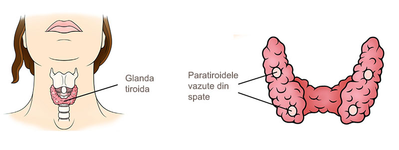 glande-paratiroide