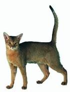 pisica din rasa abyssinian